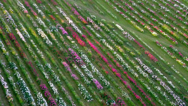 penoies-at-hedgerow-farm